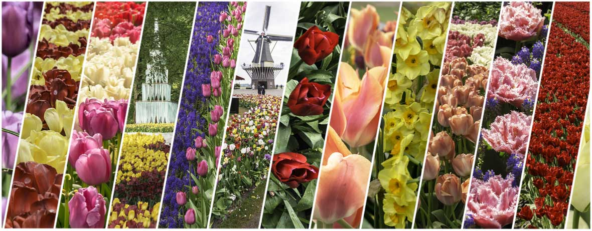 For 8 weeks a year the Keukenhof in Lisse is a top attraction in the Netherlands