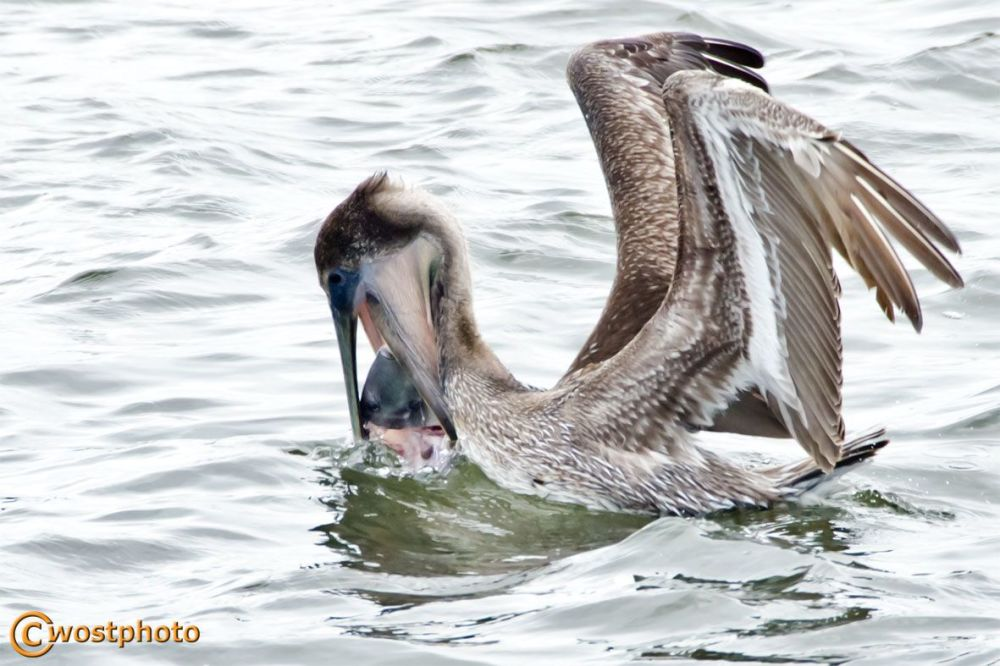 Pelican eating fish in Lantana, Florida/USA