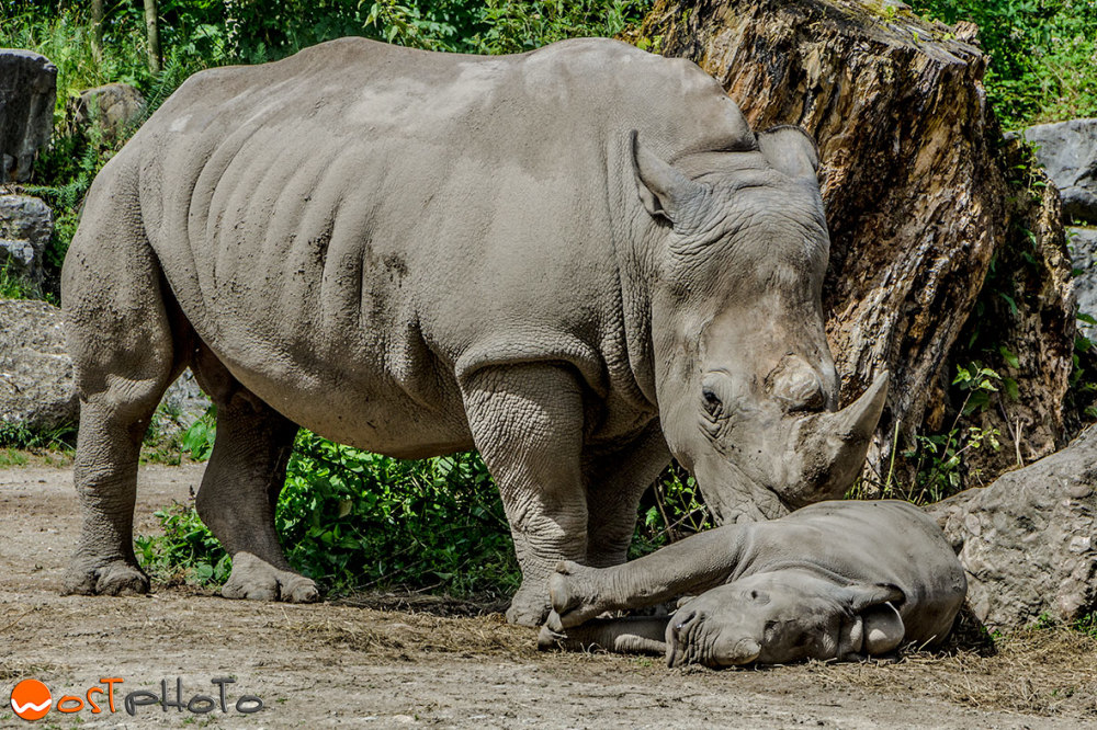 Rhino with baby at the zoo in Hellbrunn, Salzburg/Austria